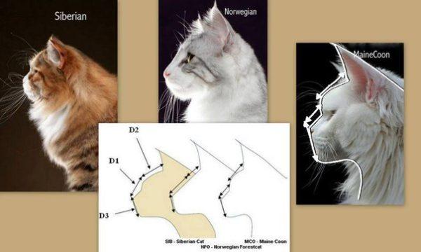 отличие мейн куна от сибирской кошки