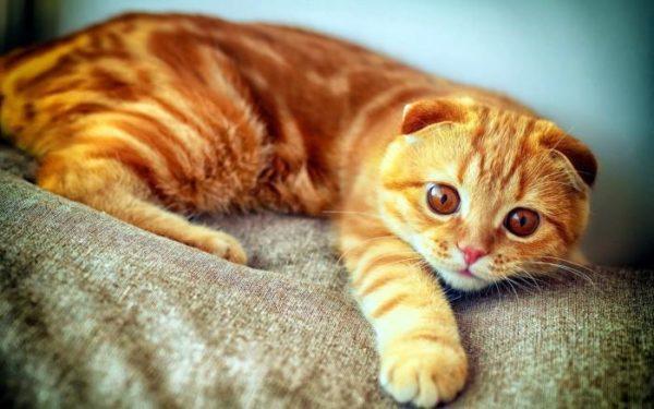Фото рыжие шотландские вислоухие коты