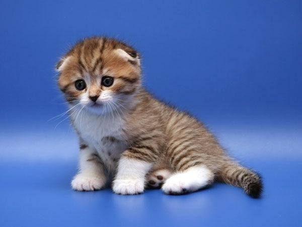 Шоколадный окрас британской кошки - SunRay | 450x600