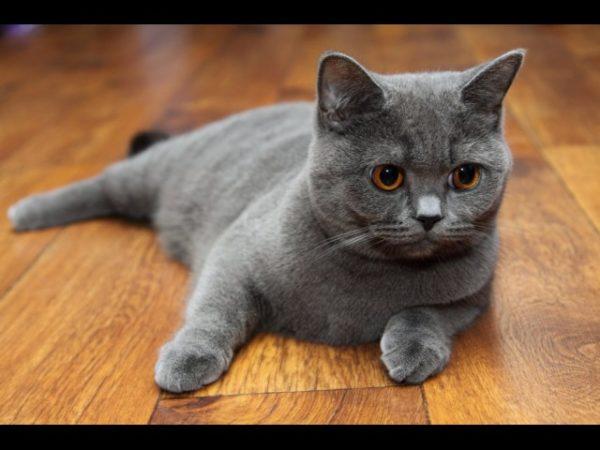 шотландский котенок в пол года