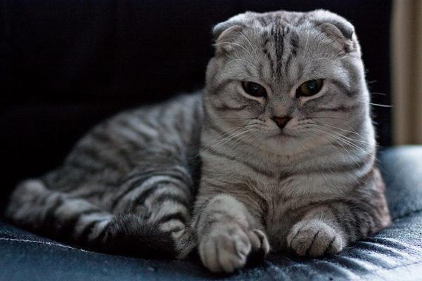 Шотландские коты характеристика породы