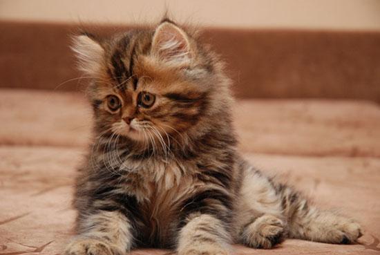 Шотландская кошка описание породы