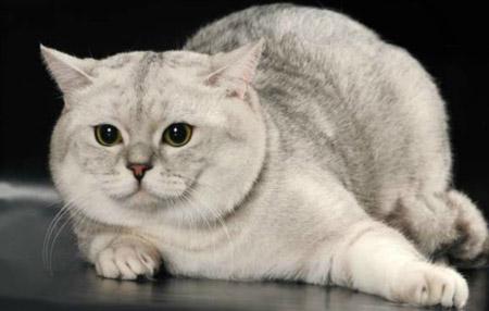 Шотландская прямоухая кошка уход и кормление