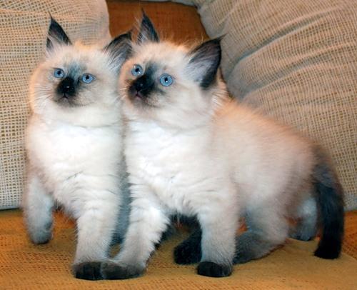 Котята сиамских котов