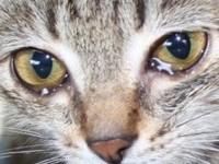 Что нужно делать если у котенка слезятся глаза?