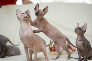 3 кошки сфинкса