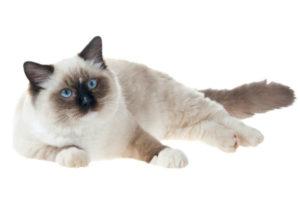 Рэгдолл кот