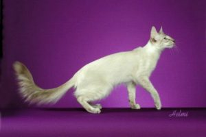 Белая кошка с голубыми глазами - 8 пород