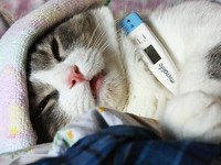 Симптомы и лечения панлейкопении у кошек