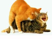 Как часто можно вязать кота с кошкой?