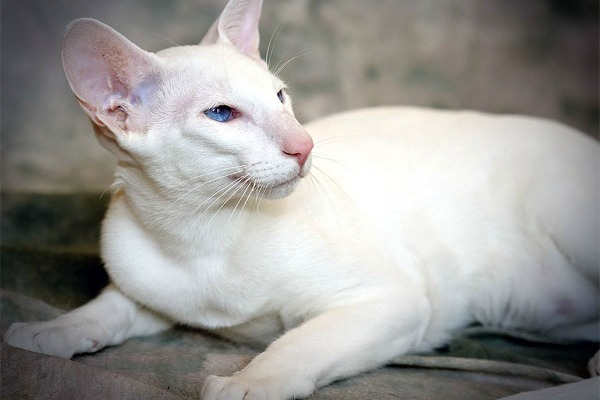 Как называется порода белого кота