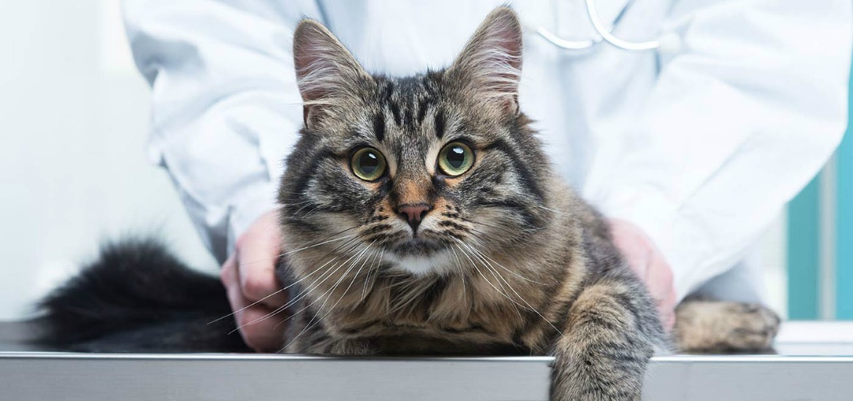 Роял Канин, купить ветеринарный корм для кошек и котов в