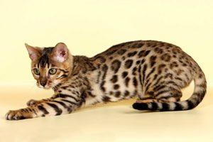 Какая порода кошек самая умная? ТОП-10