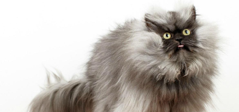 Полосатые коты (30 фото): породы серых, коричневых и полосато ... | 550x1170