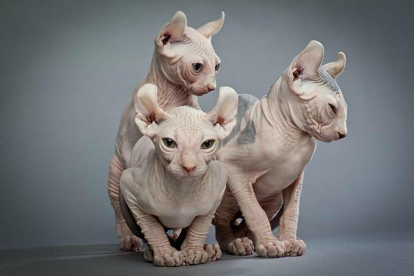 эльф порода кошек