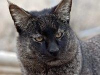 Камышовая кошка — вид, описание породы