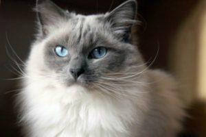 Самая большая порода кошек ТОП-6