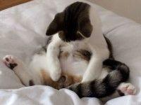 Во сколько месяцев можно кастрировать кота?