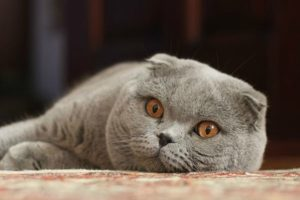 породы котят с фотографиями