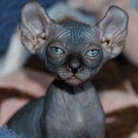 редкая порода кошки