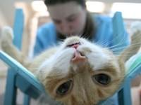 В каком возрасте можно кастрировать кота?