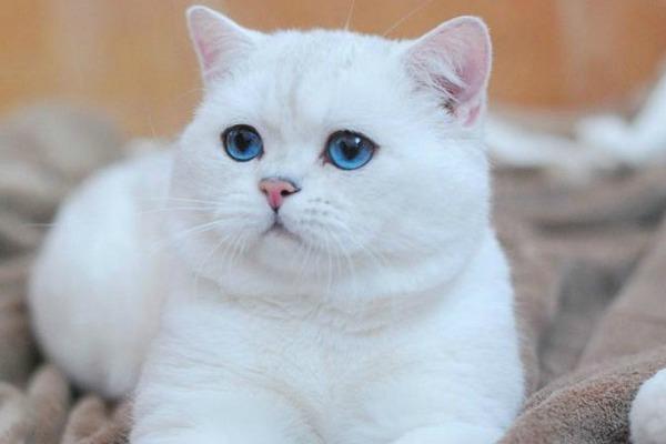 Британец с голубыми глазами кот
