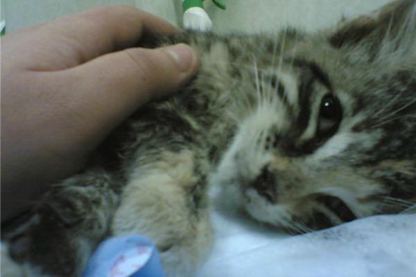 Кошачья чумка лечить в домашних условиях