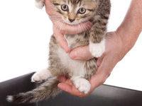 Как быстро приучить котенка ходить в лоток?
