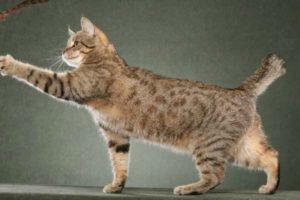 Пиксибоб кошка