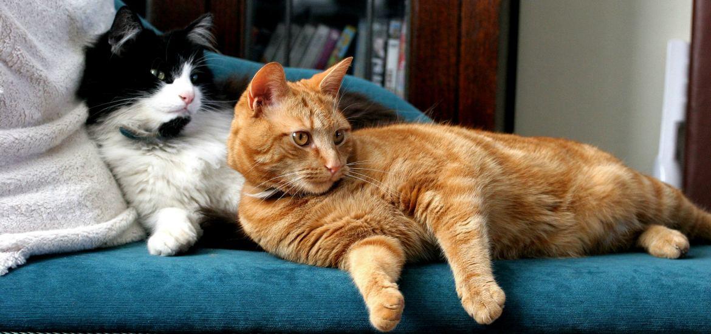 как знакомить кота с кошкой первый раз