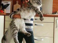 ТОП Самых больших котов в мире