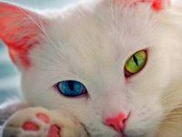Белые кошки с разными глазами и виды пород