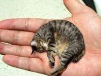 10 самых маленьких пород кошек с фотографиями и названиями