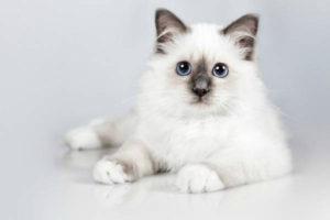 Какая порода кошек самая ласковая и ручная? ТОП-11