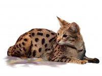 Самая большая порода кошек в мире  ТОП-6