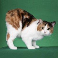 бесхвостная кошка
