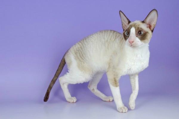 ТОП-30 Короткошерстные породы кошек с фотографиями и ...: http://pipcat.ru/different/korotkosherstnye-porody-koshek-s-fotografiyami-i-nazvaniyami.html