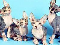 Порода кошки которые не линяют