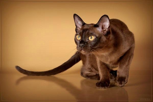 Кошка Бурма