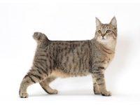 Шесть пород кошек с коротким хвостом