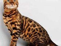 Пятнистая порода кошек