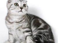 Какую лучше выбрать породу кошек для квартиры