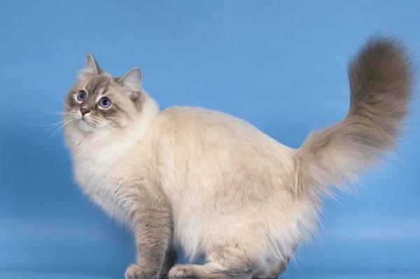 петербургская маскарадная кошки фото