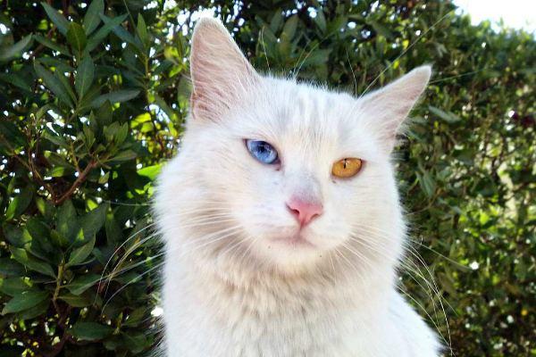 Кот белый пушистый с разными глазами