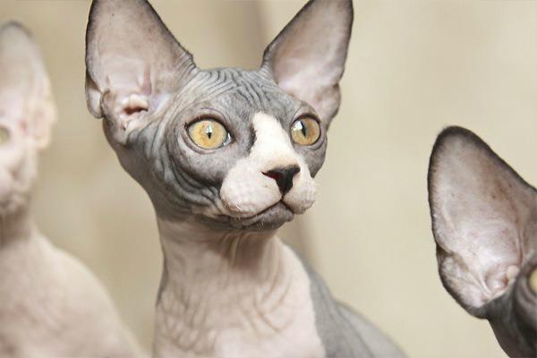 Лысый красивый кот