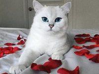 Кошка породы британская короткошерстная по имени — Коби