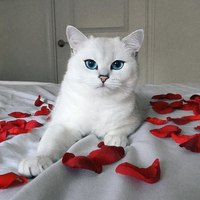 порода кошек коби