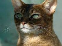Абиссинская порода кошек — описание породы с фото