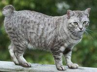 Кошка американский бобтейл — фото