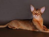 Дикий окрас у абиссинской кошки